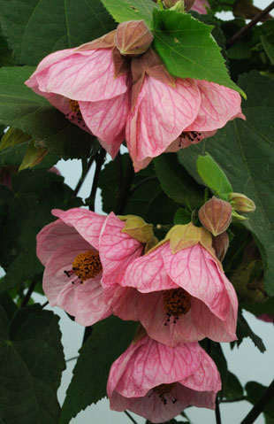 Suncrest nurseries inc plant introductions by suncrest nurseries abutilon rosalie mightylinksfo