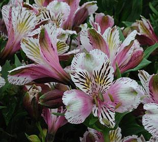 Alstroemeria Meyer S White