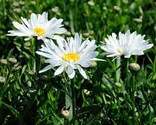 Whoops a daisy origin