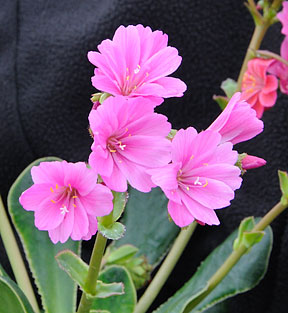 Suncrest nurseries inc plant introductions by suncrest nurseries lewisia pink cloud mightylinksfo