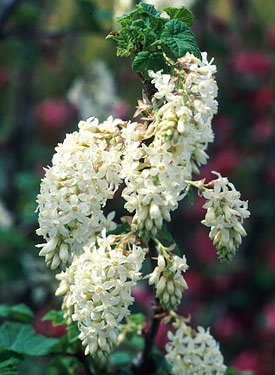Suncrest nurseries inc california natives ribes sanguineum white icicle copf common name white flowering currant mightylinksfo