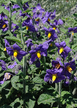 Solanum xanti, Purple Nightshade