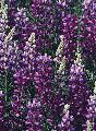 Lupinus albifrons--selected strains
