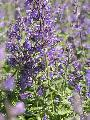 Nepeta x faassenii 'Walker's Low'